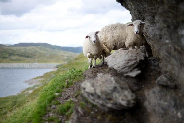 sheep-1076405_1280-1